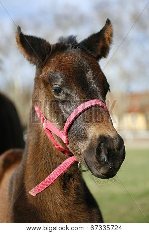 Few weeks old full-blooded colt in pasture