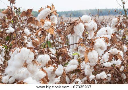 Cotton flower close up