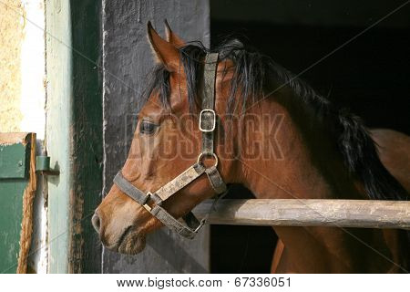 Stallion portrait at the corral door