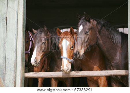 Purebred youngsters in the barn