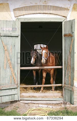 Thoroughbred houngsters in the barn
