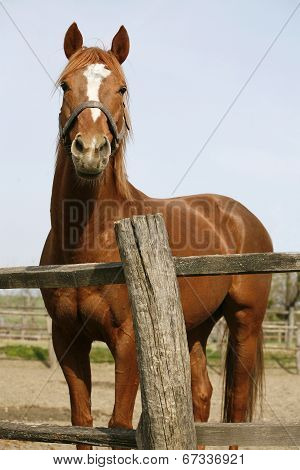 Purebred bay horse in the corral