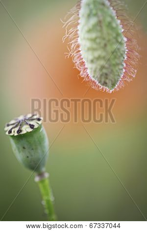 spring wild flower poppy buds, papaver rhoeas macro and detail on vibrant background. Poppies red wildflowers