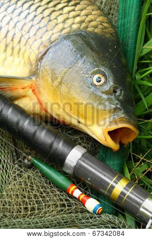 Catching fish. The Common Carp (Cyprinus Carpio) with fishing rod and landing net.