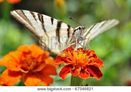 Butterfly Podalirius