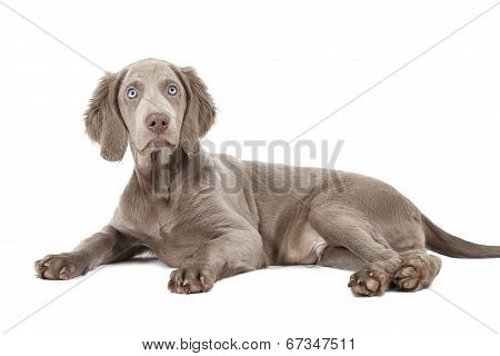 Weimaraner Puppy, Three Months Old