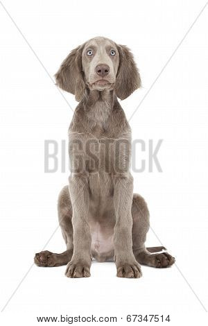 Portrait Of Lovely Weimaraner Puppy Over White