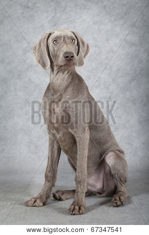 Wirehaired Slovakian Pointer Dog, Five Months Old