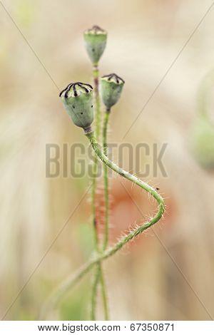 poppy flower seed buds in corn field. Beautiful summer wildflower. Macro  Papaver rhoeas.