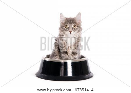 Kitten sitting in a dog's bowl