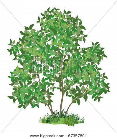 Lilac tree and green grass