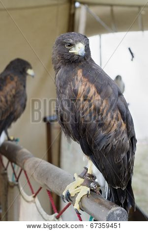 Falcon, UK