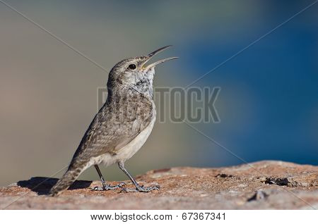 Singing Rock Wren