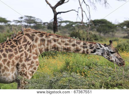 Giraffe with birds sitting on neck
