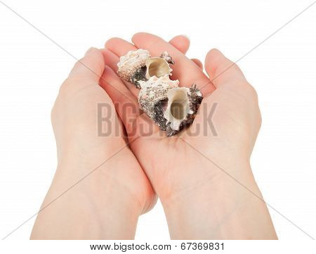 Some cockleshells in the female hands