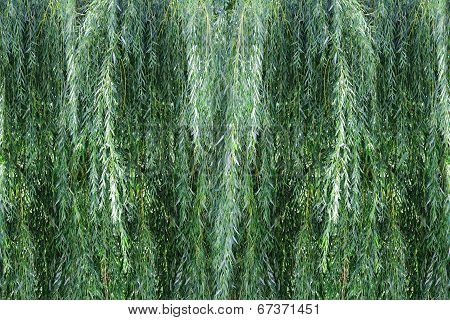 Background Willow Bush