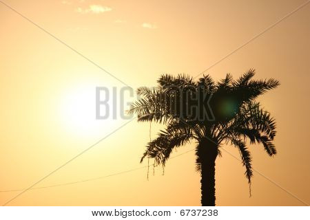 Solitaire Palm Tree Standing In Sunset Light
