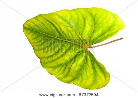 Palmate Venation Displayed On Green And Yellow Anthurium Leaf