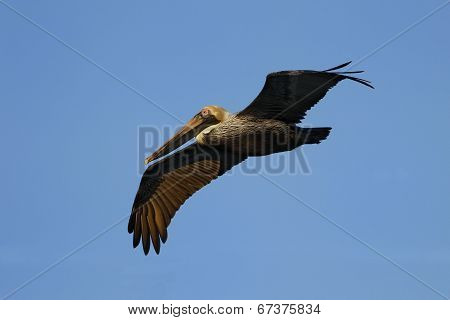 Brown Pelican Flying In Blue Sky