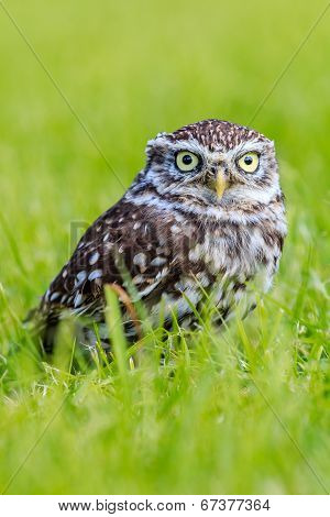 Little Owl In Long Grass