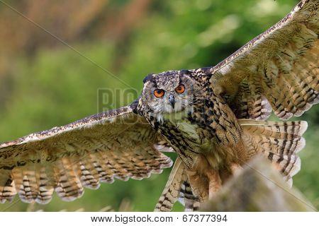 Eagle Owl Flying Low