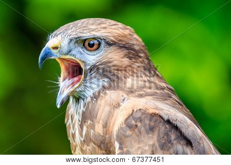 Falcon With Its Beak Open