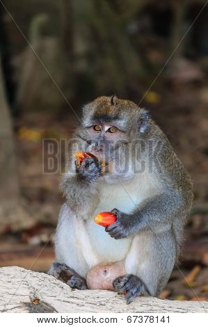 Macaque feeding on fruit off the forest floor