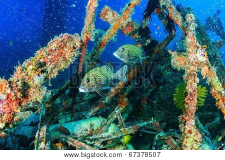 Sweetlips and glassfish