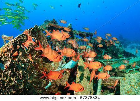 Squirrelfish on a wreck
