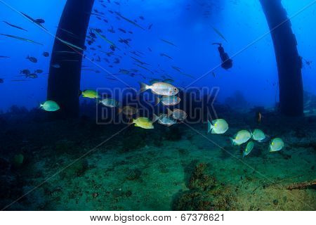 SCUBA diver and tropical fish under an oilrig