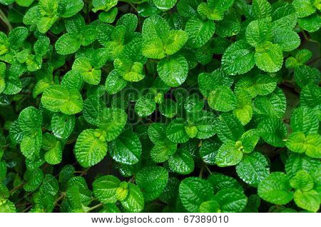 Green Leaves Background In The Forest