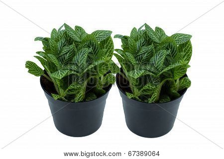 Little Twin Plant In A Black Pot On White Background