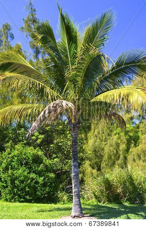A Florida Palm Tree