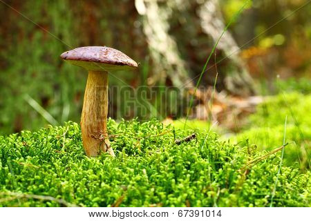 Forest Mushroom Bay Bolete In A Green Moss