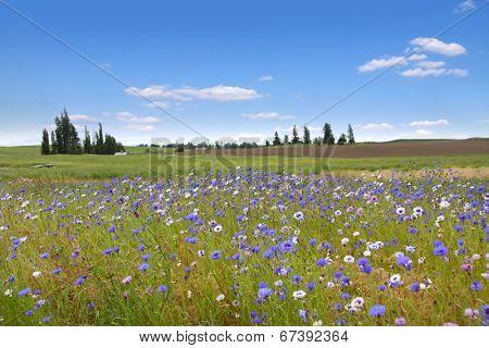 Wild flowers in Wheat fields