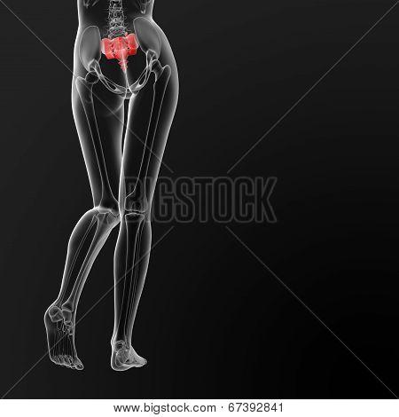 Sacrum Bone