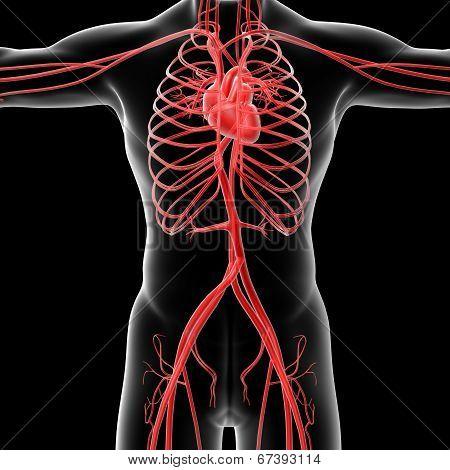 Vasacular System