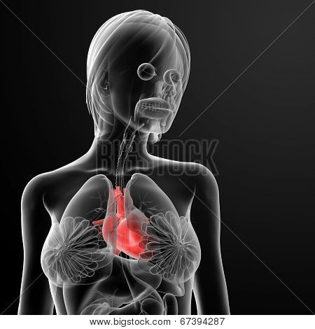 3D Render Female Anatomy - Heart