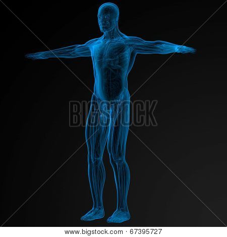3D Human Anatomy