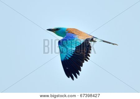 european roller (coracias garrulus) in flight