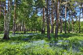 foto of rare flowers  - Forest glade with beautiful delicate blue flowers forget - JPG
