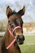 stock photo of mare foal  - Portrait of a two weeks old thoroughbred foal - JPG