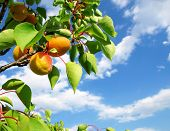 stock photo of apricot  - Ripe apricots grow on a branch among green leaves - JPG