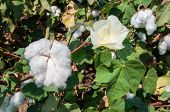 stock photo of paysage  - Stunning rural closeup on flowers of cotton harvest in northern Israel.