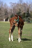 stock photo of fillies  - Few weeks old foal in the green field - JPG