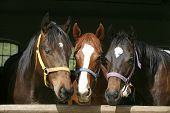 foto of horse face  - Three nice thoroughbred foals watching  in stable - JPG