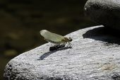 picture of cocoon  - Dragonfly just emerging from it - JPG