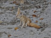 image of arctic fox  - Fennec fox in Everland Korea  - JPG