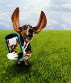 stock photo of pooch  - a cute basset hound running in the grass taking a selfie on a cell phone - JPG
