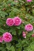 stock photo of century plant  - The famous Rosa Centifolia Foliacea  - JPG